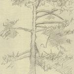 Cèdre du jardin des Plantes, 14cmx9cm, 14 V 2006
